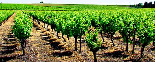 Wines and Vineyards