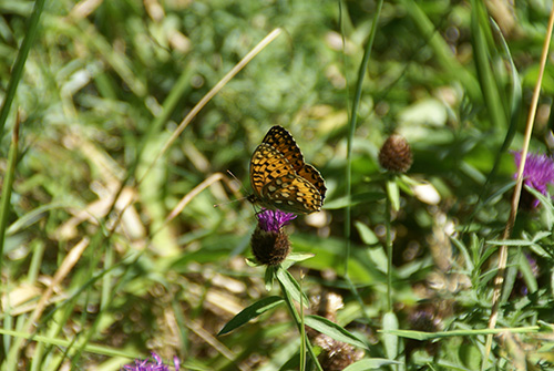 nature-butterfly-cevennes