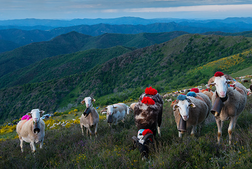 the-Cevennes-transhumance